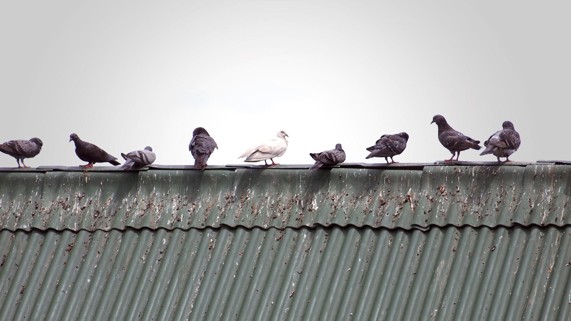 Tauben sitzen auf einem Dach