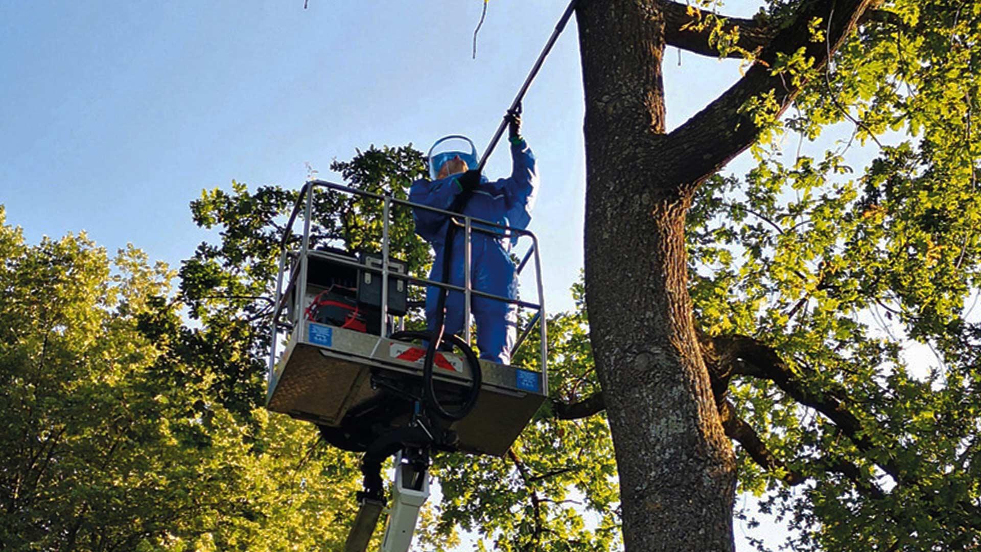 Fleschhut Schädlingsbekämpfung sammelt den Eichenprozessionsspinner von einem Baum ab